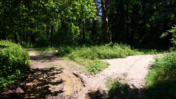 Stary buk na rozwidleniu leśnych dróg