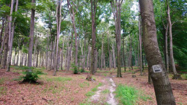 Stary bukowy las za Ćwiękiem